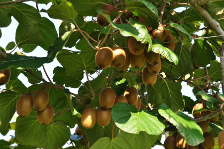 kiwifruit (1).jpg