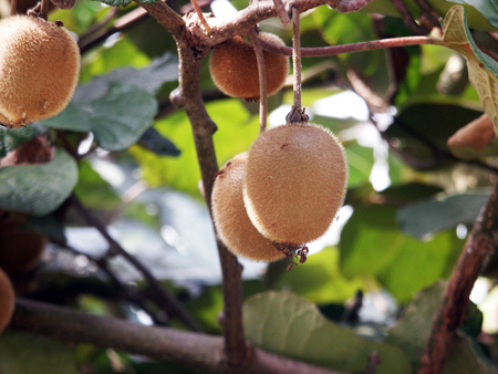 kiwifruit (2).jpg