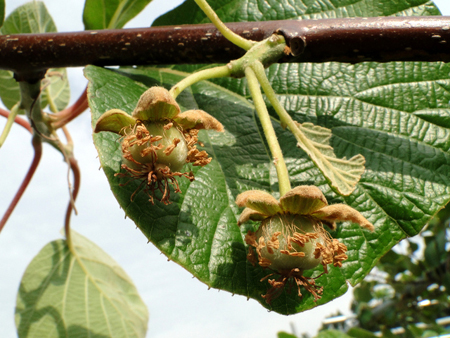 kiwifruit (4).jpg