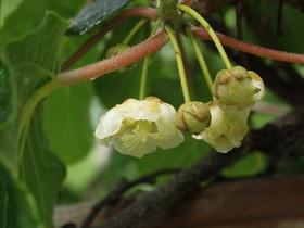 キウイフルーツ 苗木の植え方