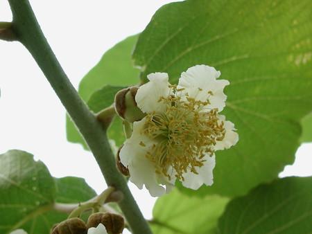 kiwifruit (6).jpg