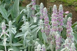 ラムズイヤーの育て方|風通しの良い場所で栽培
