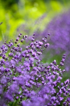 lavender005.jpg