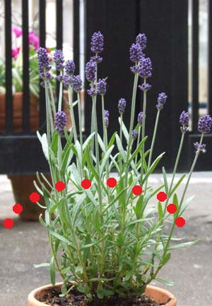 lavender (1).JPG
