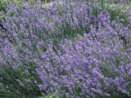 lavender (6).jpg