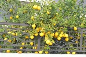 レモン 収穫して保存するには?