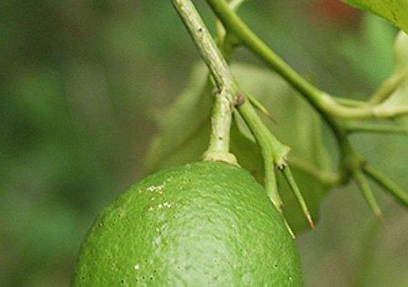 lemon-9696a.jpg