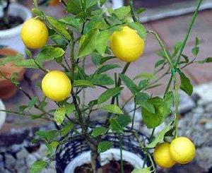 レモンの育て方 鉢植え|春の花だけ結実させて立派な実に