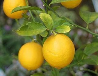 lemon1 (11).jpg