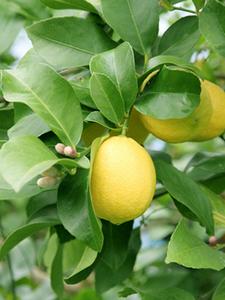 レモンの育て方 庭植え|低温に弱いので冬は防寒対策を
