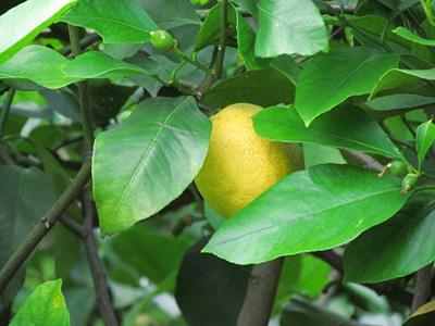 lemon1 (5).jpg