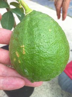 lemon1 (8).jpg