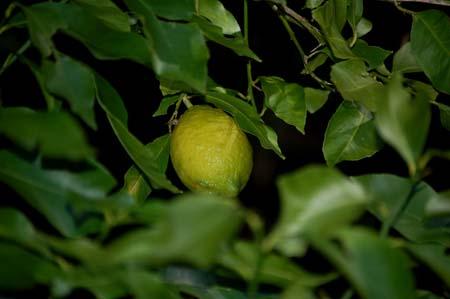 lemon (2).jpg
