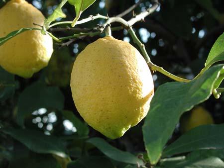 lemon20(5).jpg
