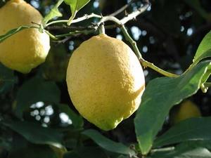 レモン 花が咲かない理由は?