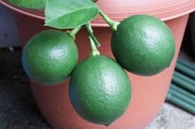 レモンの肥料