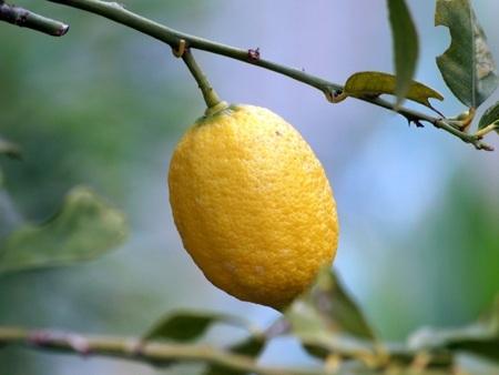 lemon2016-4.jpg