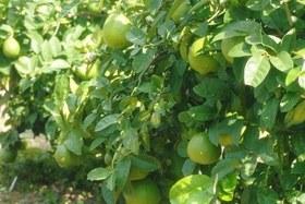 レモン 葉面散布
