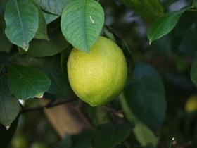レモン 室内での育て方