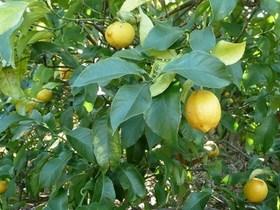 レモン 実が落ちる