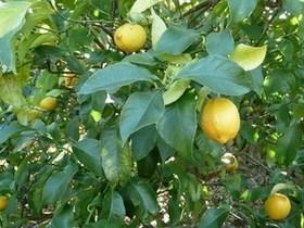 ベランダで育てやすい果樹 7選