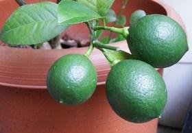 レモン 収穫時期