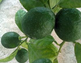 ライム 庭植えの育て方