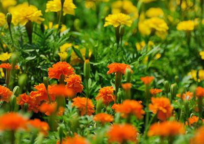 marigolds20(2).jpg