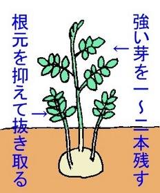 ジャガイモ 芽かき方法