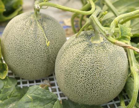 melon (1).jpg