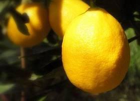 meyer-lemons.jpg