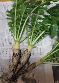 ミニダイコンの育て方|深型プランターでも大収穫