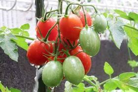 トマトの皮が硬い理由は?