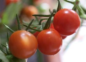 トマト 種まきのコツは?