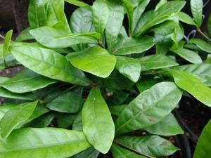 ミラクルフルーツ 葉が枯れる理由