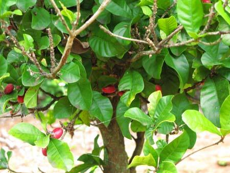 miracle fruit (1).jpg