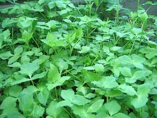 日当たりの悪い庭で育つ野菜は?