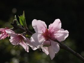 モモ 花が咲かない理由は?