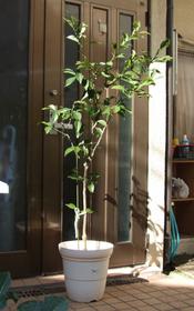 本ユズ 鉢植えの育て方