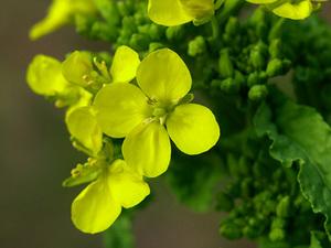ナバナ(菜花)とは?|春の訪れを告げる苦味と香り