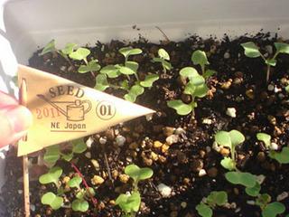 ナバナ(菜花)のプランター栽培|日照と追肥で冬も収穫!