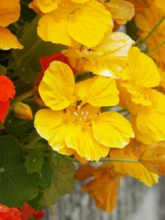 ナスタチウムの育て方|夏は暑さを避け明るい日陰で栽培