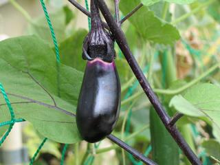 ナスの育て方|肥料は多めに継続的に施して栽培