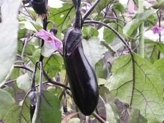 ナスのプランター栽培|剪定で秋ナスの収穫ができます!