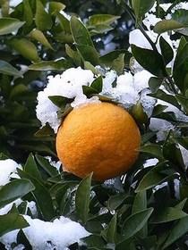 夏ミカン・甘夏 鉢植えの育て方