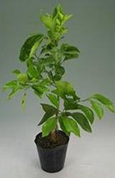 オレンジ類の育て方 庭植え|防寒対策と夏の遮光が大切です