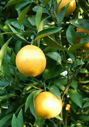 navel orange (3).jpg