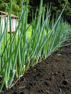 ネギの育て方|追肥と土寄せでおいしく栽培
