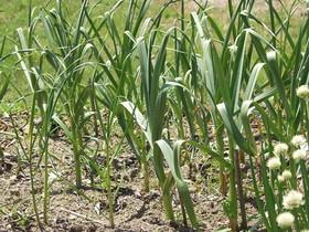ニンニク 収穫物が小さい|原因と対策は?