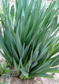 ニラの育て方|お礼肥で繰り返し新葉を収穫